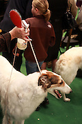 Borzoi at The 134th Westminster Kennel Club Dog Show Presented by Pedigree held at Madison Square Garden on February 15, 2010..In 2010, the 134th Annual Westminster Kennel Club Dog Show will add to its legacy as the greatest dog show in the world. It persists as the second longest continuously held sporting event in this country, just one year behind the Kentucky Derby. ..