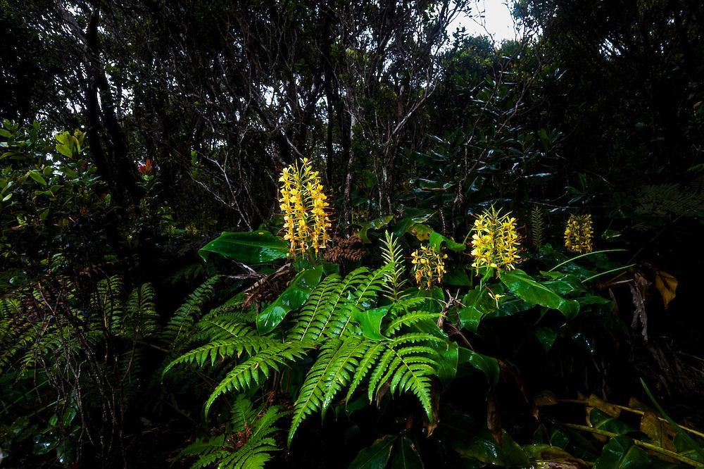 Flowering invasive kahili ginger (Hedychium gardnerianum) along the Pihea Trail, Kokee State Park, Kauai, Hawaii.
