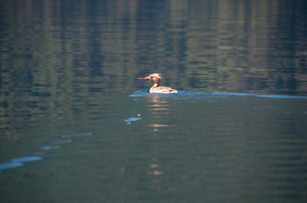 Duck, Ross Lake National Recreation Area, North Cascades National Park, Washington, US