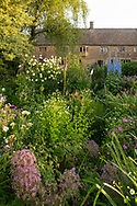 Herbaceous borders of Delphinium Pacific hybrid, Cepharlaria gigantea and Allium 'Globemaster at Lower Severalls Farmhouse,  Crewkerne, Somerset, UK