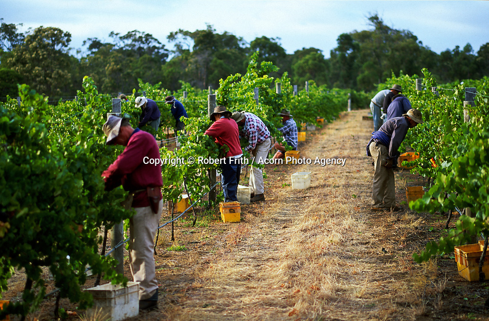 Grape pickers at vintage in south west Western Australia