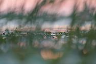 Reed morning, Nemunas Delta Nature Reserve, Lithuania, Europe
