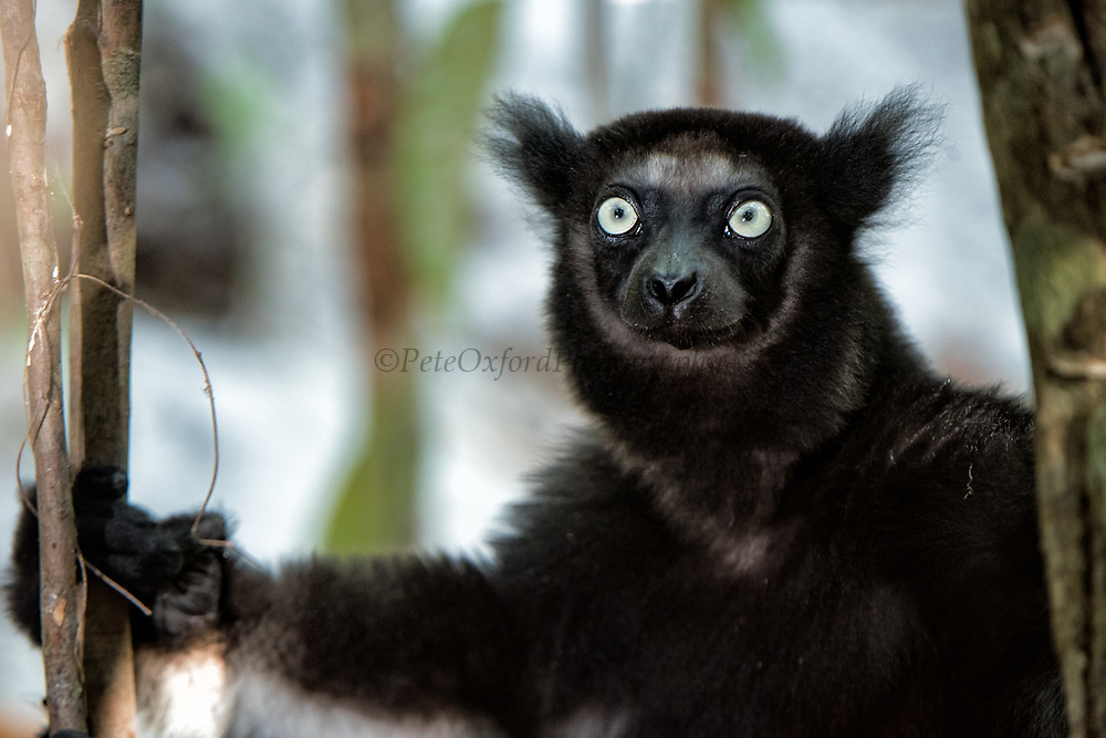 Indri (Indri indri)<br /> Palmarium<br /> MADAGASCAR<br /> ENDEMIC<br /> Critically endangered