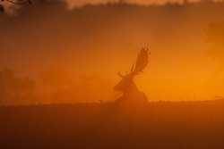 © Licensed to London News Pictures. 16/10/2011. Knole Park, Kent, UK. Deers in a cold misty Autumn morning sunrise.    Photo credit : Ian Schofield/LNP