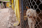 A rescued dog peers out from his enclosure at the shelter.