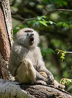 Yawning male Olive Baboon, Papio anubis, in Arusha National Park, Tanzania
