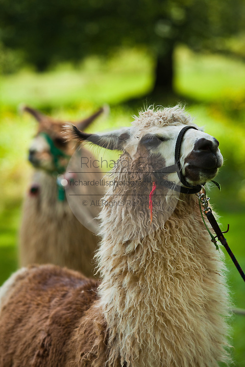 Llamas stands in the shade of a tree in Brevard, NC in the Blue Ridge mountains of western North Carolina.