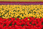 Large rows of red, yellow and violet tulips grow at Roozengaarde, one of the largest tulip producers in the Skagit Valley of Washington state. The field is part of more than 300 acres near Mount Vernon of cultivated tulips that a million people visit each year during the Skagit Valley Tulip Festival.