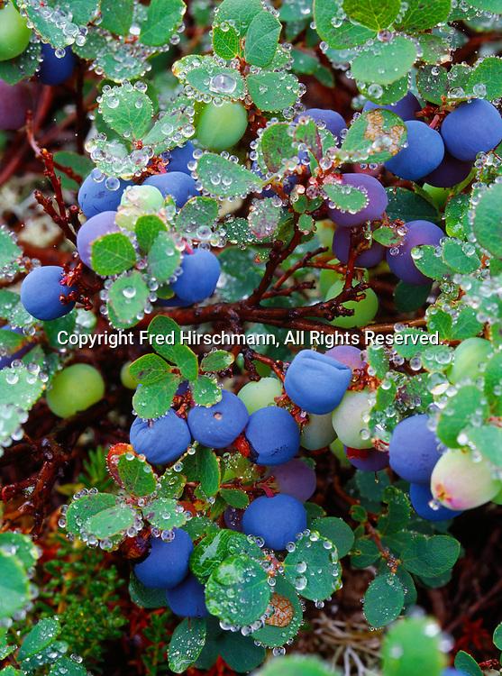 Alpine blueberry, Vaccinium uliginosum, near Lower Twin Lake, Lake Clark National Park, Alaska.