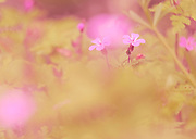 Pink flowers in a golden haze in late spring.