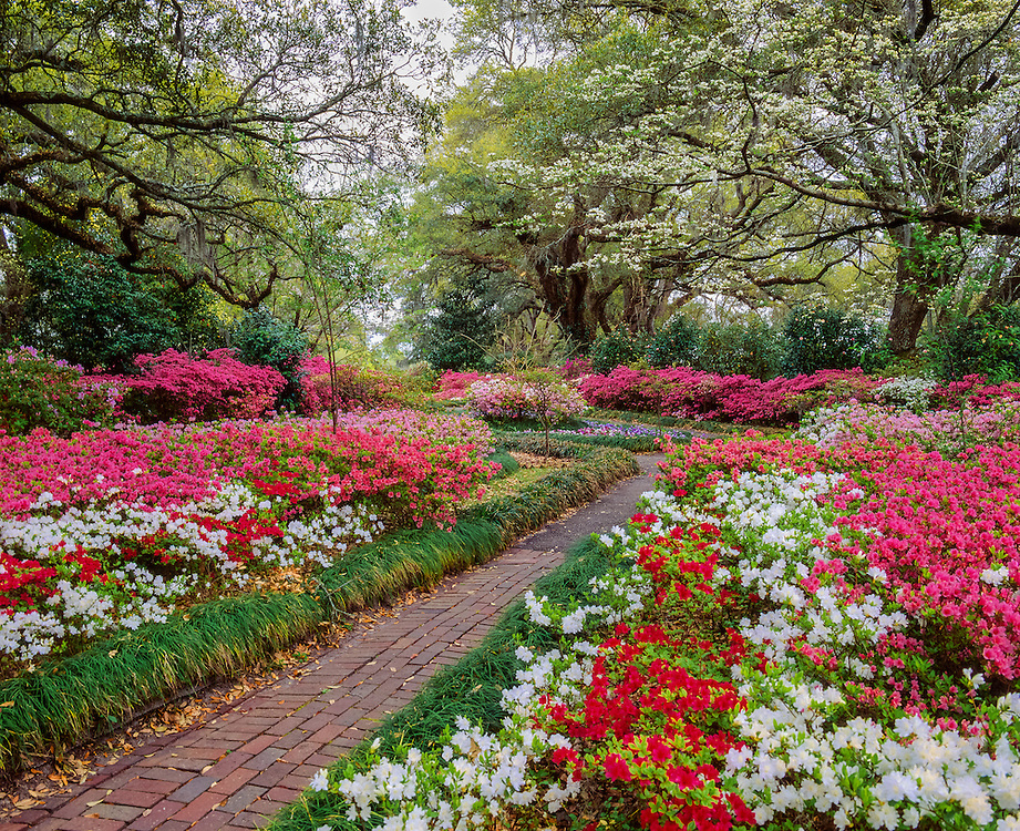 Brick walkway winds thru azalea gardens in bloom, Orton Plantation, Wilmington, NC