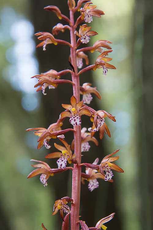 The western spotted coralroot orchid growing near the shore of Lake Cle Elum on the eastern side of the Cascade Mountains. These beautifully spotted terrestrials are found across North America in northern forests from the Pacific Northwest to Newfoundland.