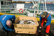 Icelandic cod fishermen drain water from a fish storage container on a fishing boat near the small port of Sandgerdi on the western side of Reykjanes peninsula in Iceland. Although their craft is small their large nets are mechanized. They monitor the casting then drink coffee and eat bread and fruit in the boat's galley until it's time to  haul in the bounty. They clean the fish in the belly of the ship, toss the guts, and then, after repeating this cycle many times for 8 hours, head for port.