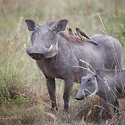 Warthog, young and two oxpeckers, Maasai Mara