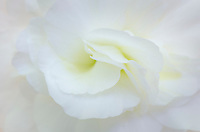 White Geranium closeup