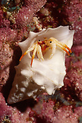 Small White Hermit Crab makes it's home in an empty shell that is much to large for it.(Calcinus minutus).Lembeh Straits, Indonesia