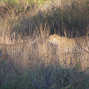 Leopard, a mother and her cub, Malamala Game Reserve, South Africa.