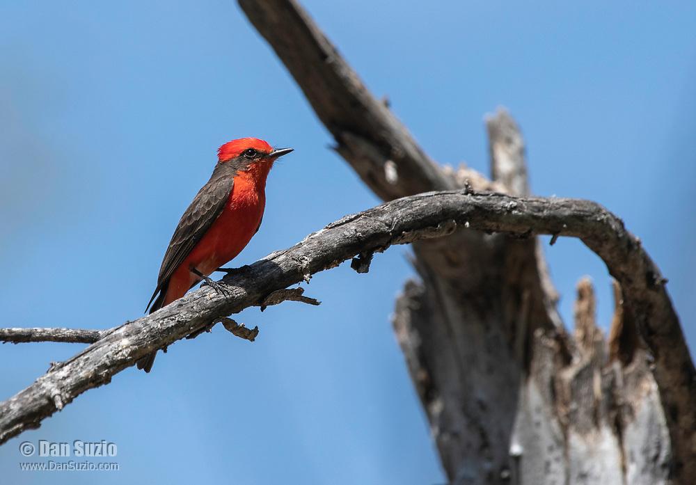 Male Vermilion Flycatcher, Pyrocephalus rubinus, in Sonoita Creek State Natural Area, Arizona