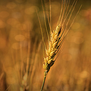 """Autumn Wheat""<br />