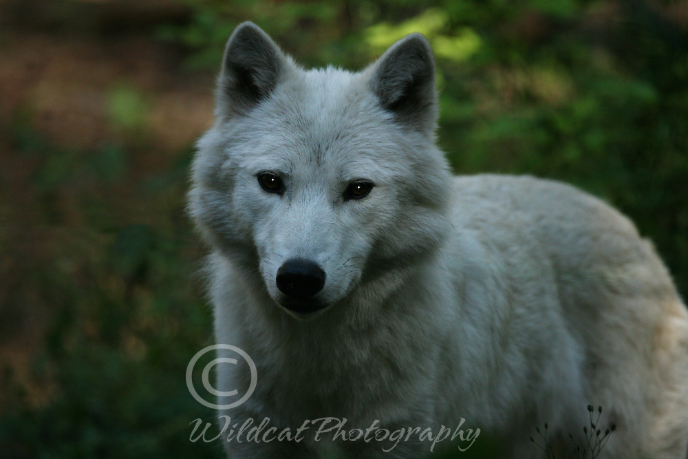 Curious white wolf