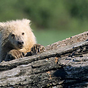 Alaskan Brown Bear, (Ursus middendorffi) Cub resting on driftwood . Katmai National Park. Alaska.June. Late Spring.
