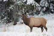 Trophy bull elk in Wyoming