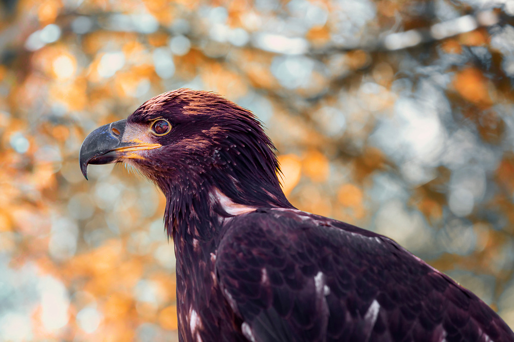 An immature bald eagle in a tree canopy backed by soft autumn orange and blue