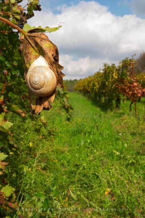 Domaine Borie la Vitarèle Causses et Veyran St Chinian. Languedoc. A snail hanging on a vine leaf. France. Europe.