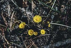 THEMENBILD - gelber Huflatich blüht auf einer Wiese. Diese Heilpflanze ist eine der ersten die nach dem Winter zu blühen beginnt, aufgenommen am 05. April 2020 in Kaprun, Oesterreich // yellow coltsfoot blooms in a meadow. This medicinal plant is one of the first to start flowering after the winter, in Kaprun, Austria on 2020/04/05. EXPA Pictures © 2020, PhotoCredit: EXPA/Stefanie Oberhauser