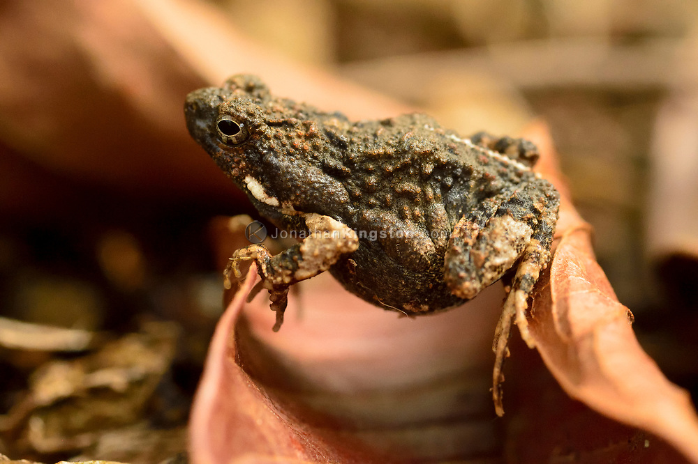 Close-up of a small toad in a botanical garden in Golfo Dulce, Puntarenas, Costa Rica.