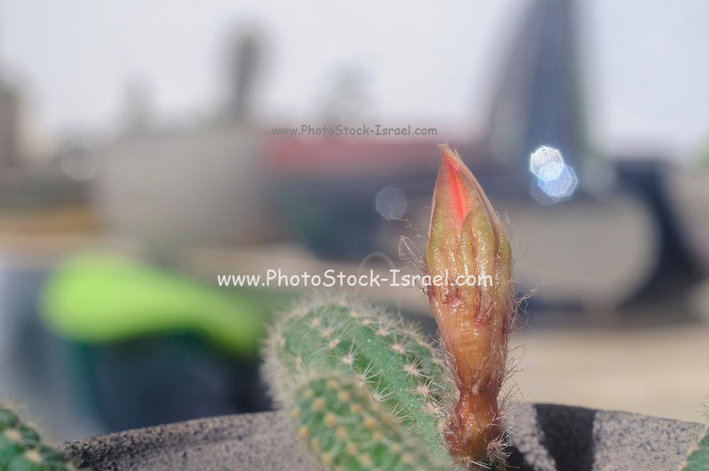 Peanut Cactus (Echinopsis chamaecereus) with an orange flower bud