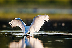 Snowy egret fishing, Lemon Lake, Great Trinity Forest near Trinity River, Dallas, Texas, USA.