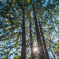 The sun bursts between redwood trees in Redwood Regional Park in Contra Costa County, above Oakland, California.