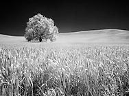 A lone tree nestled in the wheat fields of Palouse, Washington