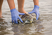 A green sea turtle rescued by the South Carolina Aquarium Turtle Rescue Hospital is released in the Atlantic Ocean July 31, 2013 in Isle of Palms, SC. Three turtles were released after having recovered from a variety of illnesses.