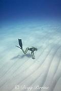 free-diver Emily Sepeta examines a horned helmet shell or pu puhi, Cassis cornuta, found on the sandy bottom off Makalawena, north Kona, Hawaii ( the Big Island ), USA ( Central Pacific Ocean ) MR 490