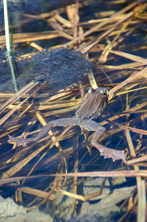 Wood Frog (Rana sylvatica) with eggs, Acadia National Park, Maine.