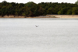 30 July 2012:  During the drought of 2012, a great blue heron is spotted gliding over Evergreen Lake in McLean County of Illinois eating a small snake in the middle of the afternoon