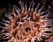 Class Anthozoa; anemones. Alaska to Southern California,  Feeds on crabs,sea urchins, molluses, and fish. Santa Barbara Island