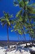 Palms and lava beach at Pu'uhonua O Honaunau National Historic Park (City of Refuge), Kona Coast, Hawaii