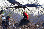 North Seymour Island in the Galapagos National Park, Galapagos, Ecuador, South America. Magnificent Frigatebirds in a colony nesting site