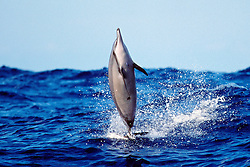 spinner dolphin, Stenella longirostris, .leaping out of large swell, note fresh .cookiecutter shark wound on belly, .Isistius brasiliensis, Kona, Big Island, Hawaii (Pacific)