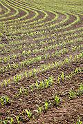 Early growth crop of corn (maize). Field near Postlip, Gloucestershire