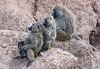A family of Olive Baboons, Papio anubis, grooms one another in Serengeti National Park, Tanzania