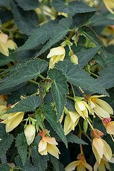 Begonia F1 'Starshine Yellow'