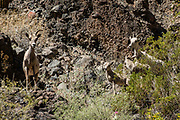 Desert bighorn sheep (Ovis canadensis nelsoni), a few miles upstream of Lava Falls. 31 years after I last rafted the Grand Canyon in 1990, I noticed lots more (dozens of) native bighorn sheep in 2021, a healthy sign for this fascinating ecosystem, which is gradually recovering since nonnative wild burros were removed in the 1960s. Since Glen Canyon Dam was completed in 1966, floods no longer scour the vegetation or deposit as much sand on the diminishing beaches (which affects rafters). Aggressive nonnative species such as tamarisk trees continue to threaten native riparian biodiversity. Day 13 of 16 days rafting 226 miles down the Colorado River in Grand Canyon National Park, Arizona, USA.