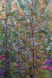 Atriplex hortensis in front of Onopordum acanthium - Scotch thistle