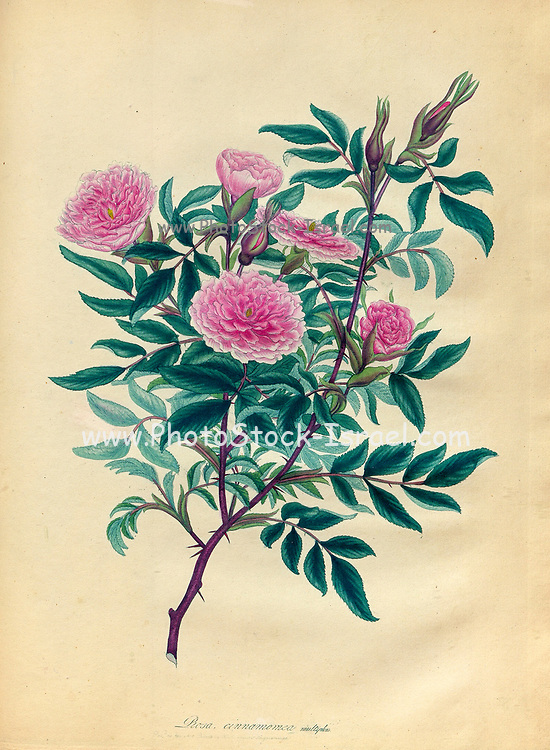 ROSA Cinnamomea, multiplex, Double Cinnamon Rose From the book Roses, or, A monograph of the genus Rosa : containing coloured figures of all the known species and beautiful varieties, drawn, engraved, described, and coloured, from living plants. by Andrews, Henry Charles, Published in London : printed by R. Taylor and Co. ; 1805.