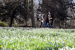 © Licensed to London News Pictures. 18/02/2015. Welford, UK People walk through snowdrops in bloom at Welford Park in Berkshire today 18th February 2015. The Galanthus Nivalis display at Welford Park is in a beech wood covering approximately 5 acres alongside the River Lambourn. Photo credit : Stephen Simpson/LNP