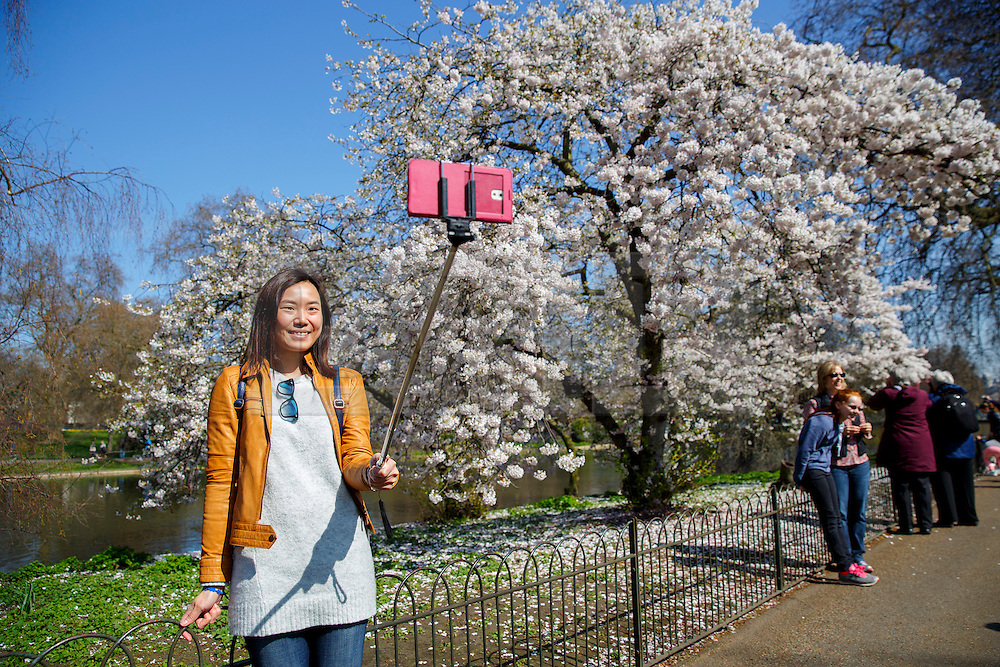 © Licensed to London News Pictures. 07/04/2015. LONDON, UK. People take pictures of white blossom trees in St James's Park in London on Tuesday, 7 April 2015 as temperature hits 17C. Photo credit : Tolga Akmen/LNP